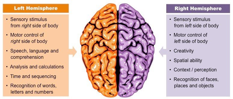 Hemispheres of brain