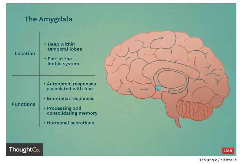 Amygdala function