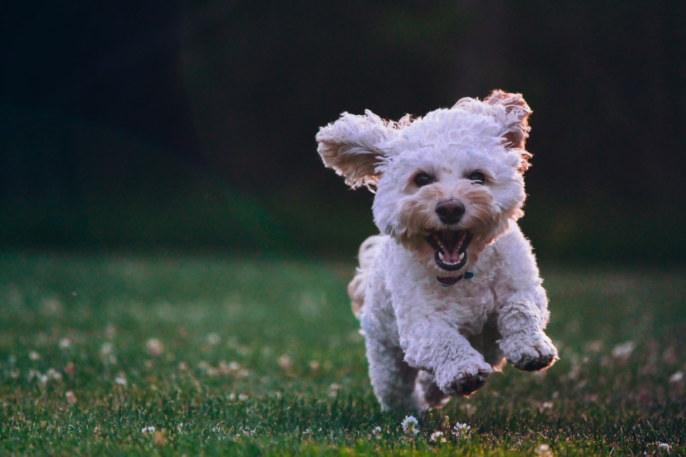 Puppy smiling and running